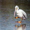 American White Pelican 3318-032918-1cr by Tam Ryan