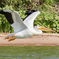 American White Pelican Above The Water by Tony Hake