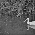 American White Pelican Among Reeds         Minnesota Zoo          Autumn by Rory Cubel