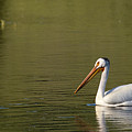 American White Pelican by Chad Davis