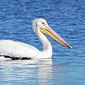 American White Pelican by Charles Dobbs