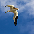 American White Pelican In Flight by Marilyn Hunt