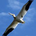 American White Pelican Wings by Marilyn Hunt
