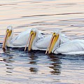 American White Pelicans by Bob Gibbons