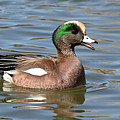 American Widgeon Calling From The Water by Max Allen