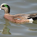 American Wigeon Duck by Pierre Leclerc Photography