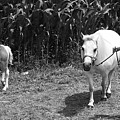 Amish Girl With Her Colt by Eric  Schiabor