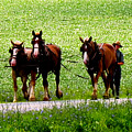 Amish Horse Team by Stephanie Forrer-Harbridge