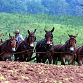 Amish Plowing The Fields With Mules by Randy Matthews