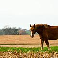 Amish Work Horse by Jennifer Wick