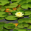 Among The Lily Pads by Suzanne DeGeorge
