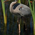 Among The Reeds by Pamela Blizzard
