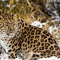 Amur Leopard In A Snowy Forrest by Gavin Baker