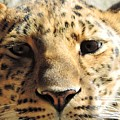 Amur Leopard Stare by Tracy Welter