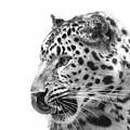 Amur Leopard by Stephanie McDowell