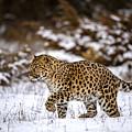 Amur Leopard Walks In A Snowy Forest by Gavin Baker