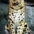Amur Lepard I Hear Something by John Olson