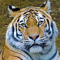 Amur Tiger 1 by Helene Guertin
