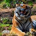 Amur Tiger 7 by Angelina Tamez