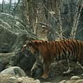 Amur Tiger by Dawn Downour