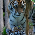 Amur Tigress And Grown Cub by Phil Banks
