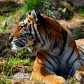 Amur Tiger 9 by Angelina Tamez