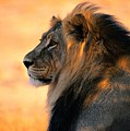 An Adult Male African Lion, Panthera by Nicole Duplaix