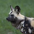An African Hunting Dog by Joel Sartore
