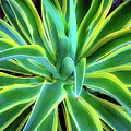 An Agave In Color  by D Davila