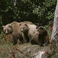 An Alaskan Brown Bear And Her Cubs by Roy Toft