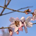 An Almond Tree Blooming by Zohar Gavrieal