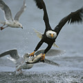 An American Bald Eagle Grabs A Fish by Klaus Nigge