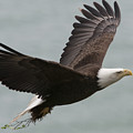 An American Bald Eagle Soaring by Roy Toft