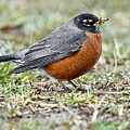 An American Robin With Muddy Beak by Jeramey Lende