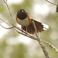 An Angry Towhee by Jeff Swan