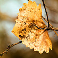 An Autumn Leaf Suspended by Jeff Swan