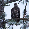 An Eagle Gazing Through Snowfall by Jeff Swan