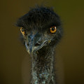An Emu At The Lincoln Childrens Zoo by Joel Sartore