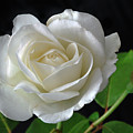 An English Rose by Terence Davis