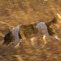 An English Springer Spaniel Points by Joel Sartore