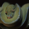 An Immature Green Tree Python Curled by Taylor S. Kennedy