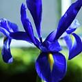An Irish Iris by Marcus Dagan