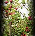 An Old Apple Tree by Randy J Heath