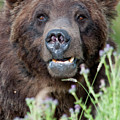 An Old Bear Looking For A Meal by Frank Madia