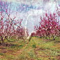 An Orchard In Blossom In The Golan Heights by Dubi Roman