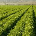 An Organic Carrot Field by Inga Spence
