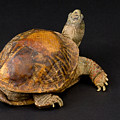 An Ornate Box Turtle With A Fiberglass by Joel Sartore