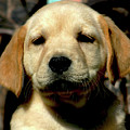 An Unimpressed Yellow Lab Puppy 1700 H_2 by Steven Ward