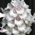 An Unusual Orchid by Rosalie Scanlon