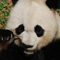 An Up Close Look At A Giant Panda Bear by DejaVu Designs